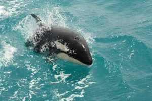 Orca spotted in Akaroa Harbour